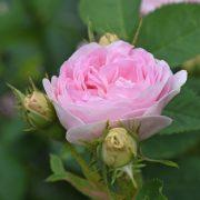 Rosenblüte Rosenöl gehört zu den kostbarsten ätherischen Ölen in der Aromatherapie