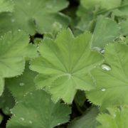 Alchemilla, Frauenmantel: Heilpflanze in der Pflanzenheilkunde, bsonders bei Frauenleiden