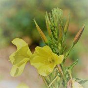 Nachtkerze, Heilpflanze in der Pflanzenheilkunde, das Öl wird besonders bei Neurodermitis geschätzt