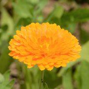 Ringelblumenblüte, Heilpflanze in der Pflanzenheilkunde, z.B. bei Hautproblemen